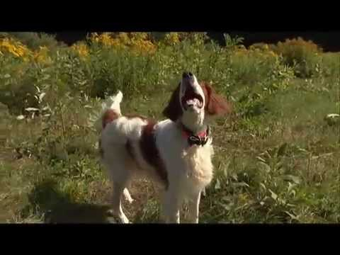 Dog Breeds - Irish Setter.  Dogs 101 Animal Planet