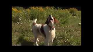 Dog Breeds  Irish Setter.  Dogs 101 Animal Planet