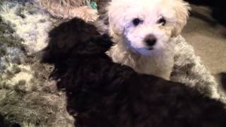Toy Poodle X Brussels Griffon Puppies Week 10