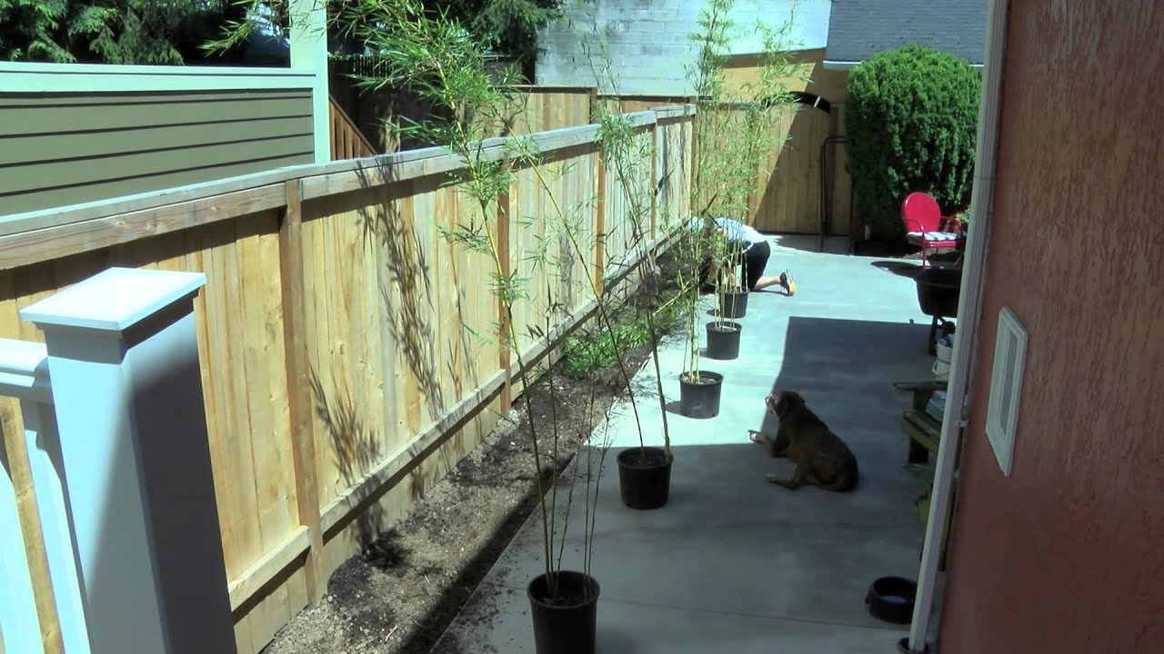 best bamboo cane pole stake all decor ideas for fences.htm growing and maintaining bamboo  growing and maintaining bamboo