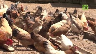 Kỹ thuật nuôi gà đồi - Cách nuôi gà đồi hiệu quả trong mùa hè
