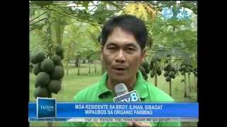 PTV8 featured FFF Ilihan Bio-farming Cluster - Organic Farming of Papaya