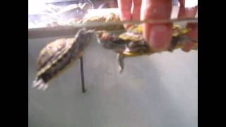 My 8 month red eared sliders Mating ritual (mating ritual is what they do before ***)