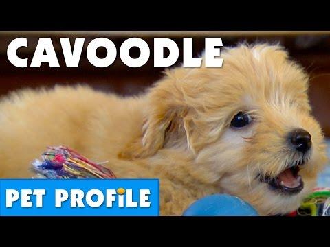 cavoodle-pet-profile-|-bondi-vet
