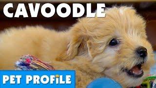 Cavoodle Pet Profile | Bondi Vet