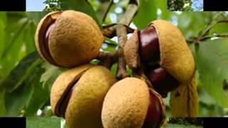 Плоды каштана при тромбофлибитах