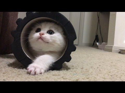 Scottish fold kitten first day home