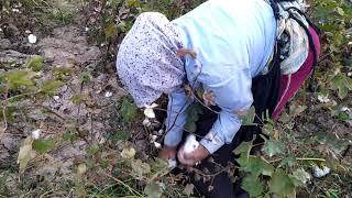 Работа на хлопковых полях! ШОКИРУЮЩАЯ ПРАВДА! КИРГИЗИЯ! work on cotton fields, KYRGYZSTAN!