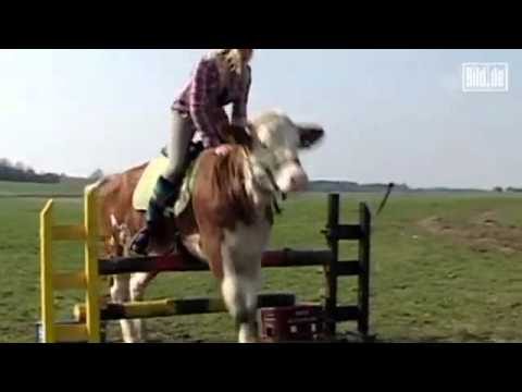 Tierische Dressur Diese Kuh Springt Wie Eine Pferd