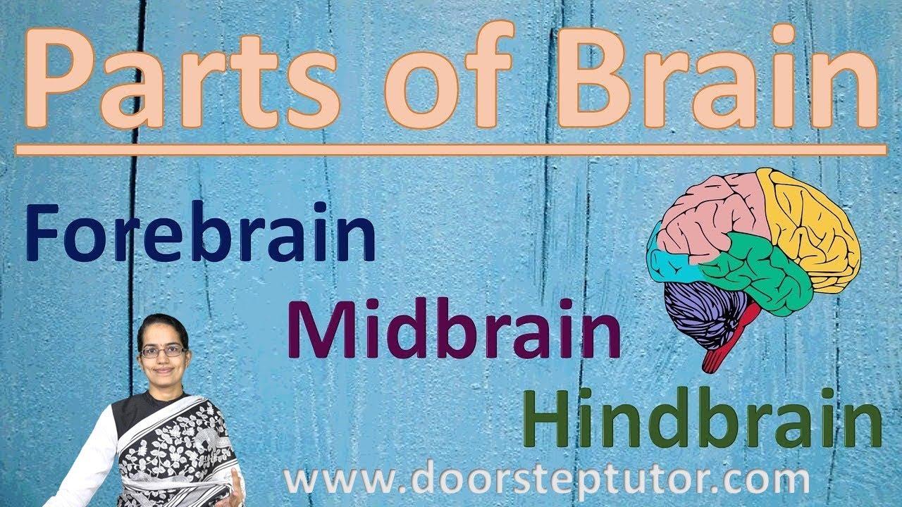Parts of Brain: Forebrain, Midbrain, Hindbrain | Human ...