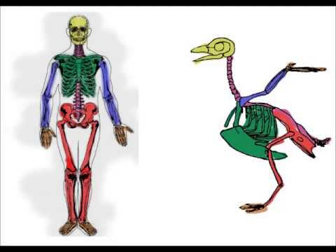 The Human Skeleton in Comparison
