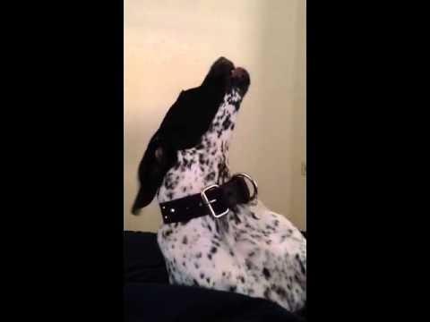 Howling GSP