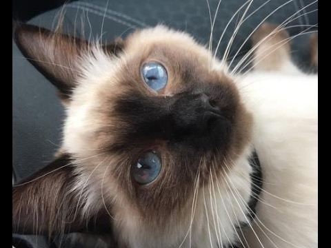 Ragdoll Kitten Learns Tricks! - Maya 6 Months Old Update