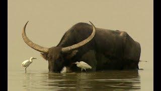 Water buffalos (Bubalus arnee) in Kaziranga