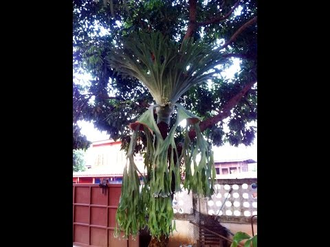 Platycerium grande - Staghorn fern - Elkhorn - หูช้างฟิลิปินส์ - 鹿角蕨
