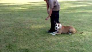 Obedience Training (chacco Pitbull Dog Iligan City)