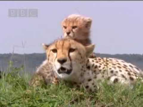 Cute baby cheetah cubs in danger - BBC wildlife