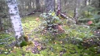 видео: Море белых грибов)))) 31 Августа 2014 года. Тверская область.