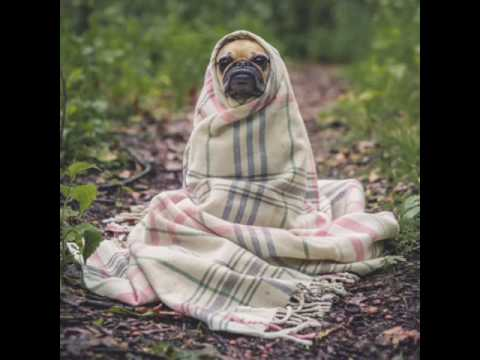 **hilarious-pug-video**-get-your-free-how-to-train-pugs-course-click-here**