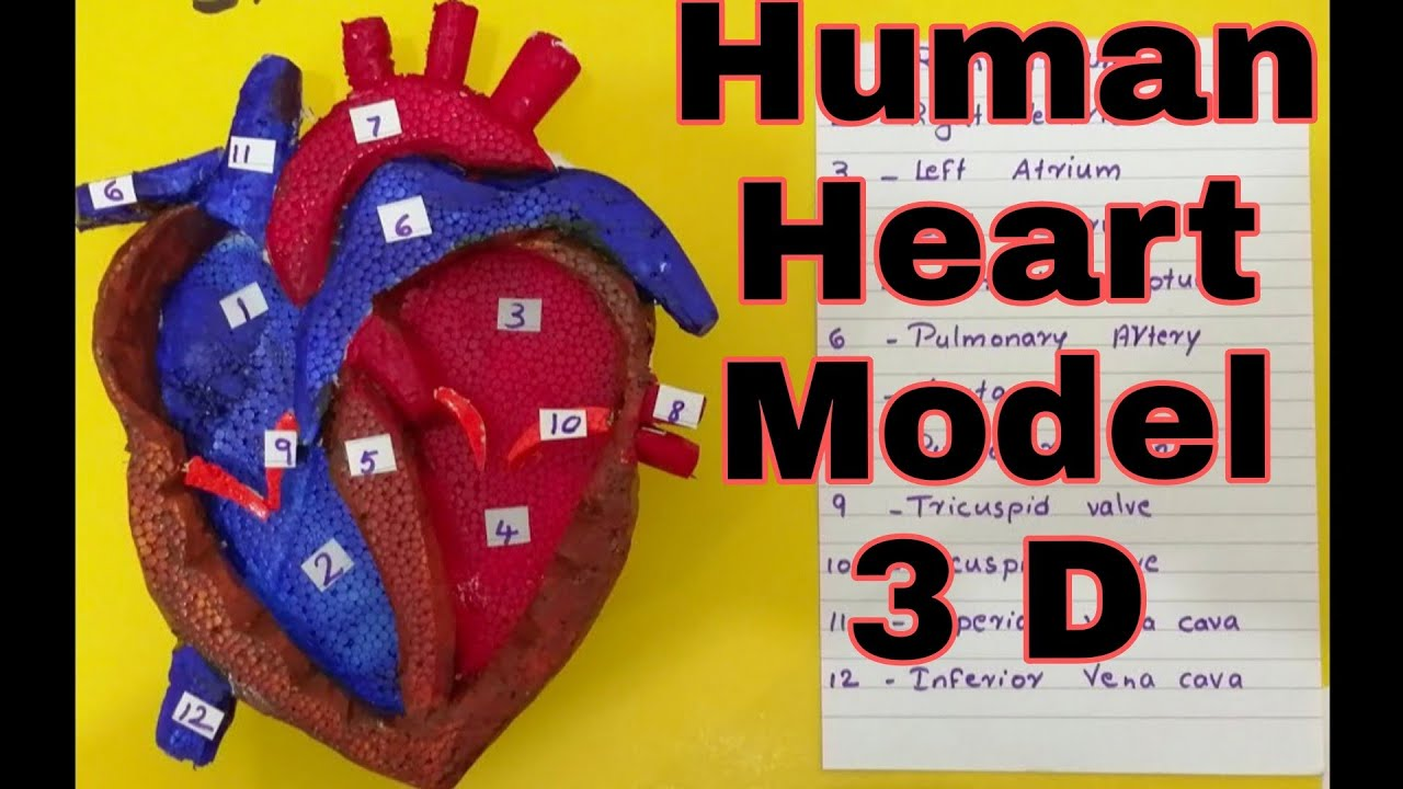 Human Heart 3D Model   School science project model for  students   The4Pillars