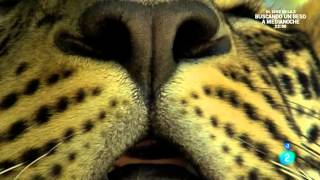 Grandes documentales - El leopardo insólito