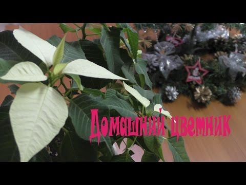 Вьющиеся цветы. Ипомея: описание, посадка и уход (фото)