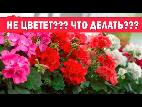 🌸5 секретов цветения герани. Как правильно выращивать пеларгонию 🌸