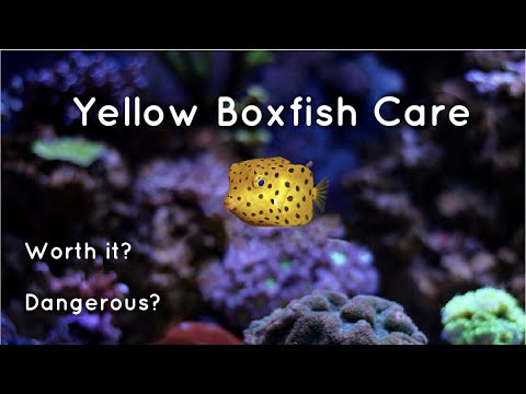 How To Care For A Yellow Boxfish! (And Keep It Alive)