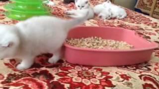 Котята британские 1 месяц