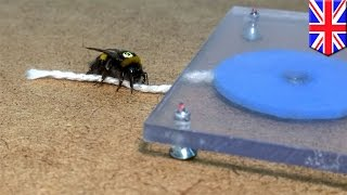 Bees string experiment: scientists prove bumblebees can learn and share tool-use skills - TomoNews