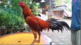 Warna Bulu Ayam yang Selalu Langganan Juara Saat Bertanding
