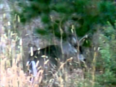 HIM YouTube Buck Deer Blacktail Playing With Pine Needles Idl100956TN