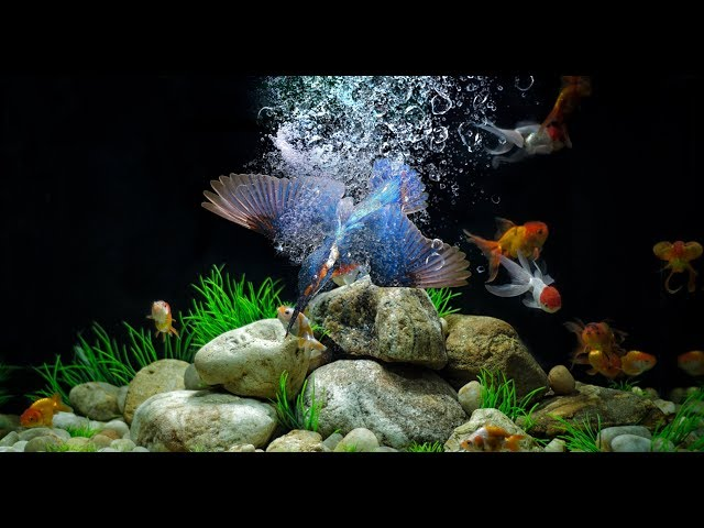 Kingfisher catching fish in my aquarium Photo manipulation in Photoshop CC