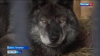 Новоуренгоец развернул в Петербурге целый парк для волков и новой породы собак волэндов