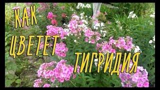 Тигридия (павлинья) — посадка и уход за растением