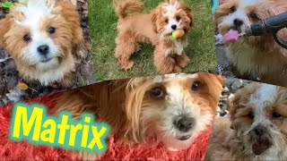 Matrix the Cute Puppy 🐶 Shih Tzu Poodle Aka: Shih Poo