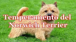 Todo sobre el 'Norwich Terrier'