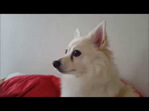 The caring german spitz - mother watches her daughter play!
