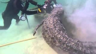 Buzos nadan entre cocodrilos en atolón de México.