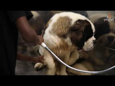 Full grooming session of St. Bernard 8 months old Puppy | Adidog's The complete Pet Shop
