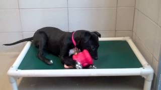 Wilma A Bull Terrier:labrador Retriever Mix Available For Adoption At The Wisconsin Humane Society
