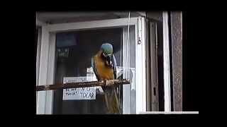 Попугай .Parrot gnaws nut