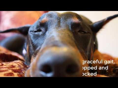 Doberman Pinscher Dog documentary
