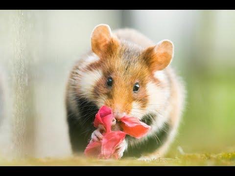 Urban Wildife Photography - European Hamsters