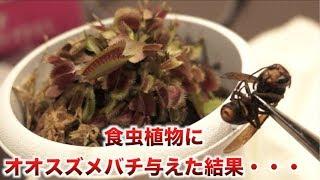 食虫植物にオオスズメバチ与えたらまさかすぎる展開に・・・