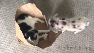 Albert the mini pig lets the cat out of the bag!