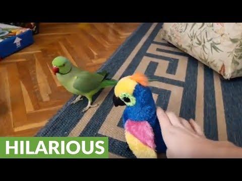 Parrot gets jealous of parrot stuffed animal