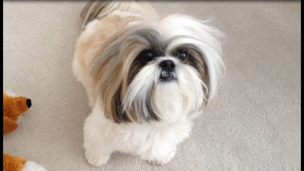 Shih Tzu Dog Lacey Looks Funny Without Her Topknot Youtube