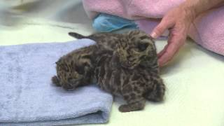Newborn clouded leopard cubs make public debut at Point Defiance Zoo in Tacoma thumbnail