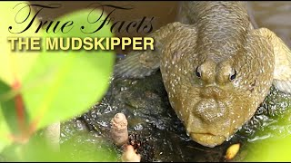 True Facts: Mudskippers